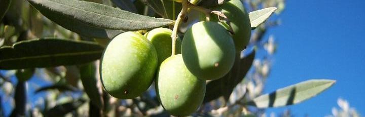 Aceituna verdeja serrana