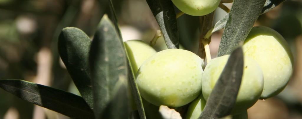 Aceitunas Blanqueta