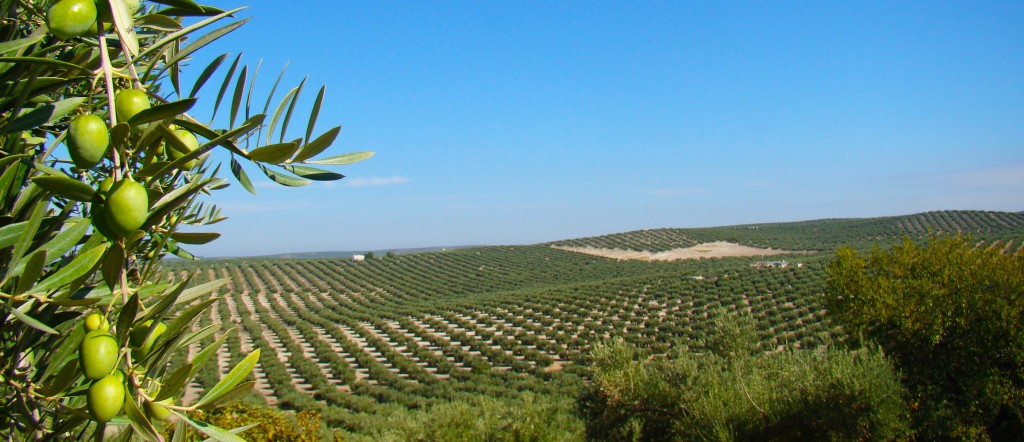 Olivos y aceitunas en Jaén