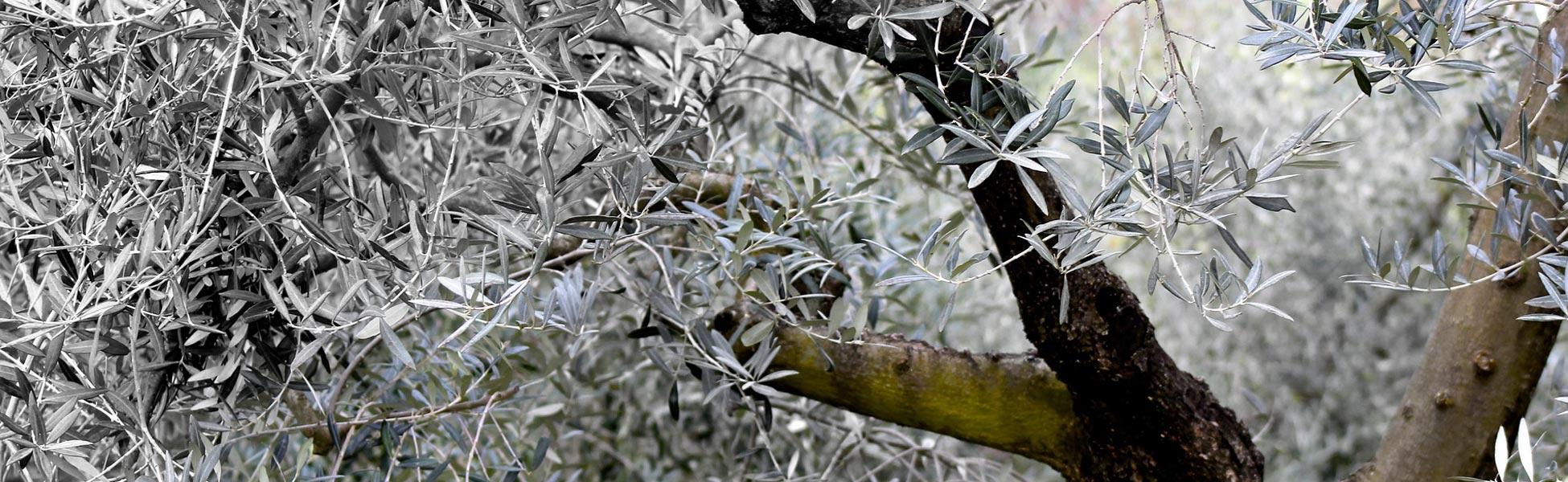 historia-olivo