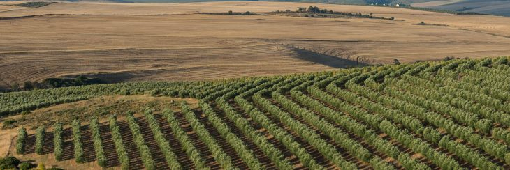 Variedades de olivo en España
