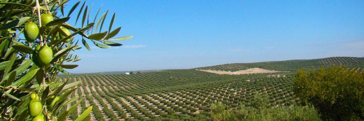 Jaén, tierra de olivos