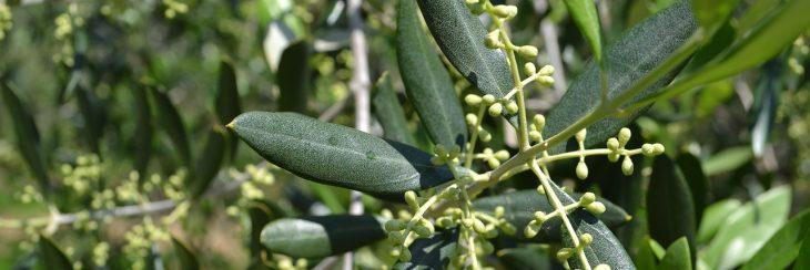 flor del olivo