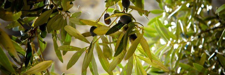 Cómo tienes que cuidar un olivo en tu casa