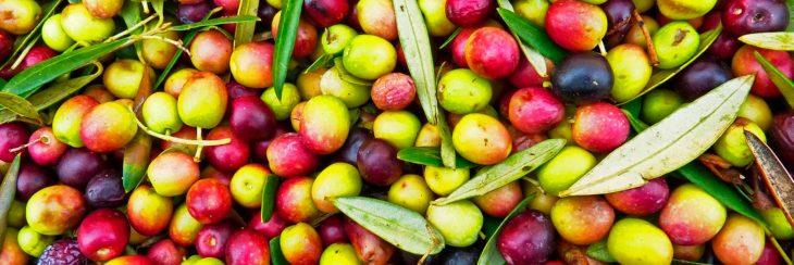Conoce la variedad del olivo arbequina