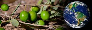 Presencia de la aceituna en latinoamerica