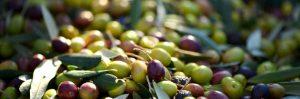 ¿Aceitunas u olivas?