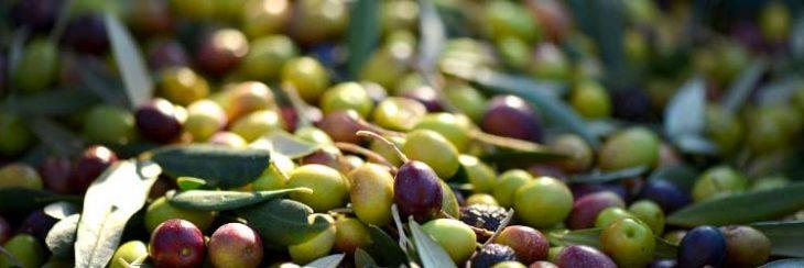 ¿Aceitunas u olivas? ¿Cómo la llamas?