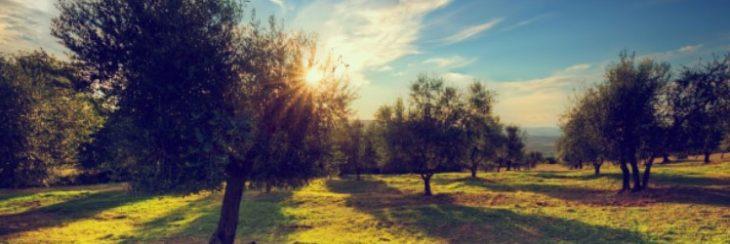 Antigüedad de los olivos
