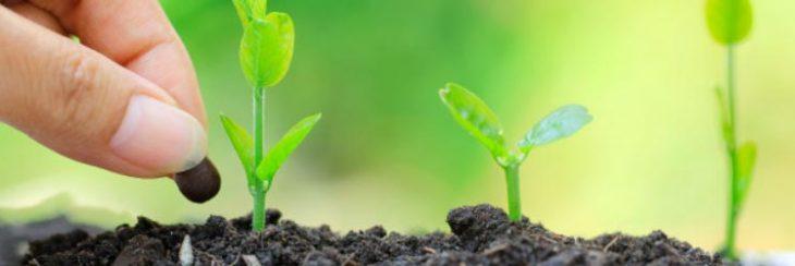 cómo se germinan las aceitunas