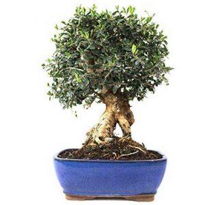 Bonsái de olivo