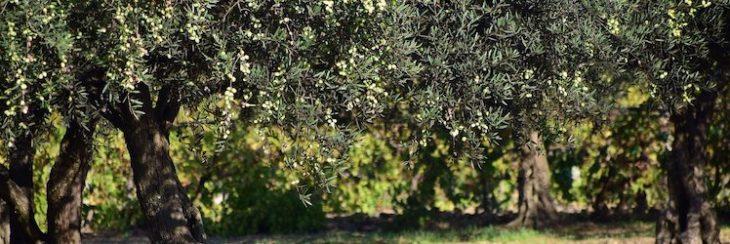 ¿Cuántos olivos hay en Jaén? La respuesta a la pregunta te sorprenderá