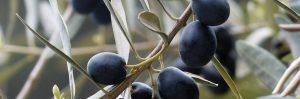 polvo de aceitunas negras